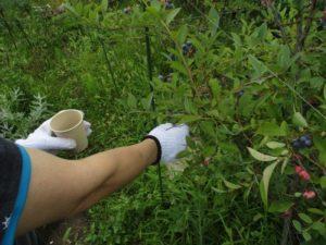 ブルーベリー収穫の様子