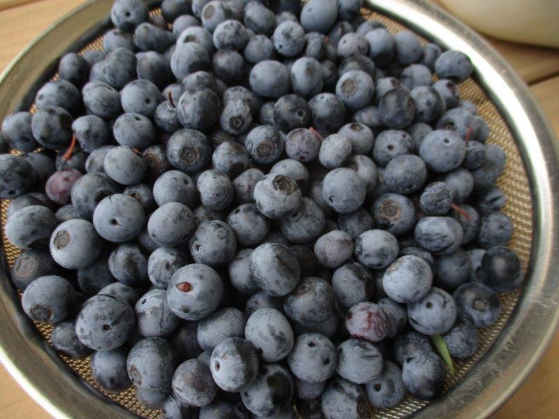 収穫されたザルいっぱいのブルーベリー